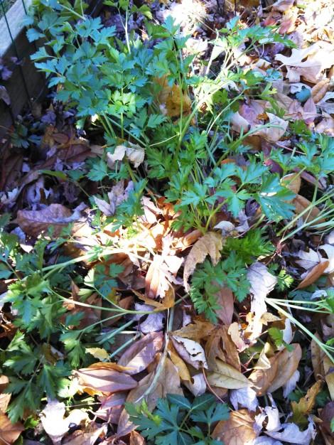 parsley in garden